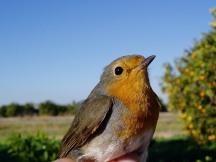 Pit-roig / Petirrojo / Erithacus rubecula