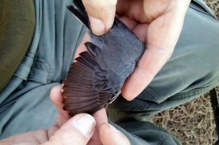 busquereta capnegra jove (muda parcial)