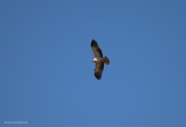 Àguila calçada 02
